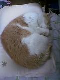テンピュール枕の上で寝る茶々