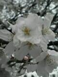 一番咲いてる枝がこれくらい