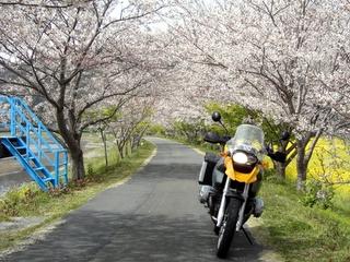 南伊豆にて、桜と菜の花