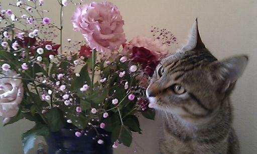 [写真]薔薇と猫
